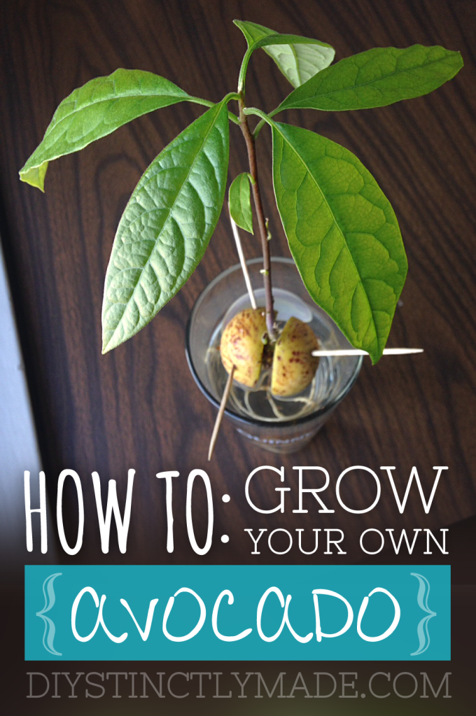 DIY Homegrown Avocado | DIYstinctlyMade.com