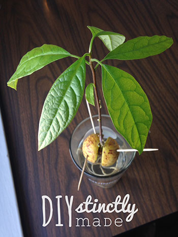 DIY Homegrown Avocados | DIYstinctlyMade.com